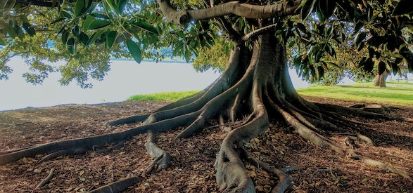 Tree with dramatic roots